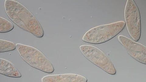 Paramecium caudatum - ciliat movement, food vakuole, macro nukleus, differential interference contrast