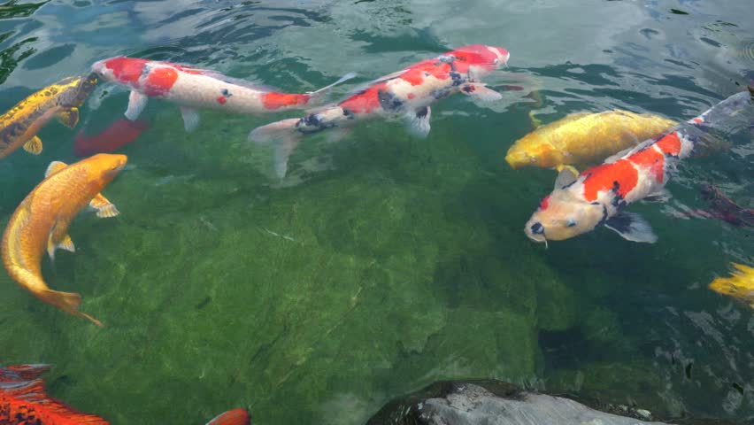 Close up of large japanese goldfish in a pool in tokyo for Colorful pond fish