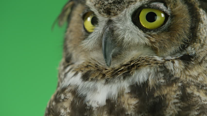 Great horned owl looking handsome - 4K stock footage clip
