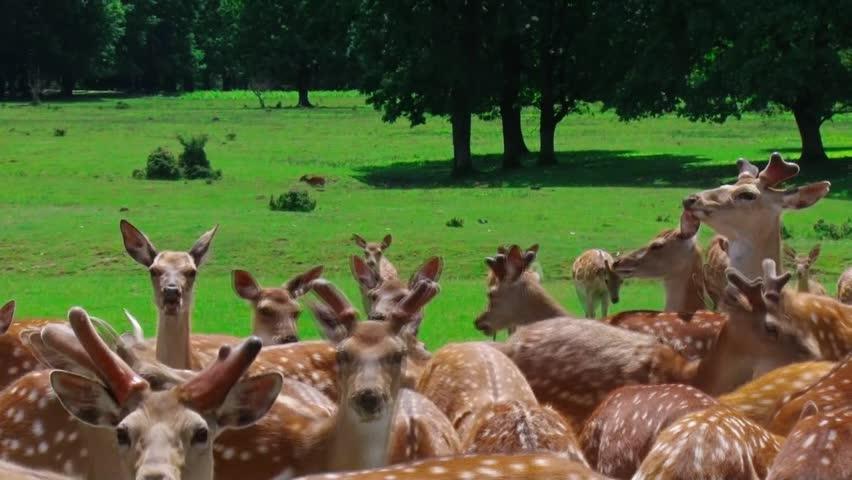 A herd of deer on the farm   Shutterstock HD Video #19043209