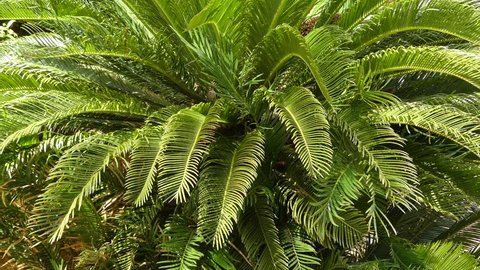 Cycas revoluta (sago palm, king sago, sago cycad, Japanese sago palm), is a species of gymnosperm in the family Cycadaceae, native to southern Japan including the Ryukyu Islands.
