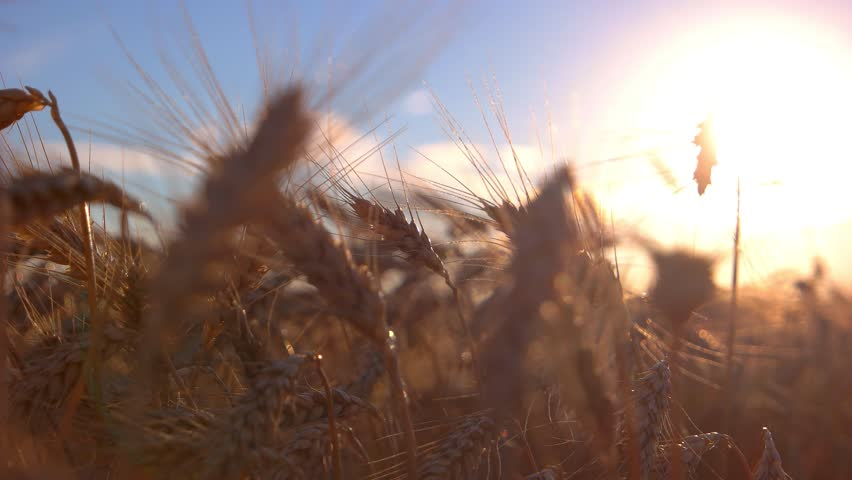 Ears on sun background. Field and sky. Find sense of life. Season brought rich crops. | Shutterstock HD Video #19112899