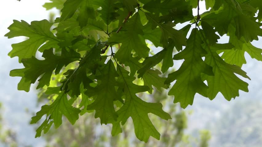 Quercus Macrocarpa, the Bur Oak, Stock Footage Video (100% Royalty-free)  19182409 | Shutterstock