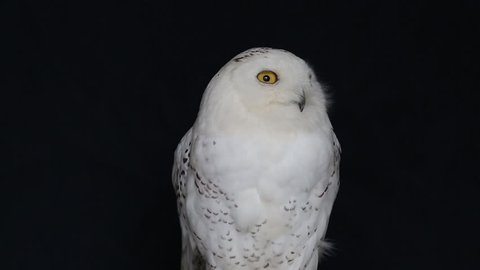 Snowy Owl, Bubo Scandiacus, perched on a post making eye contact with piercing yellow eyes. Light snowfall.isolated on black background.