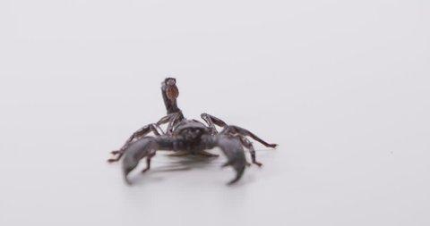[Scorpion walking towards camera]Scorpion walking towards camera