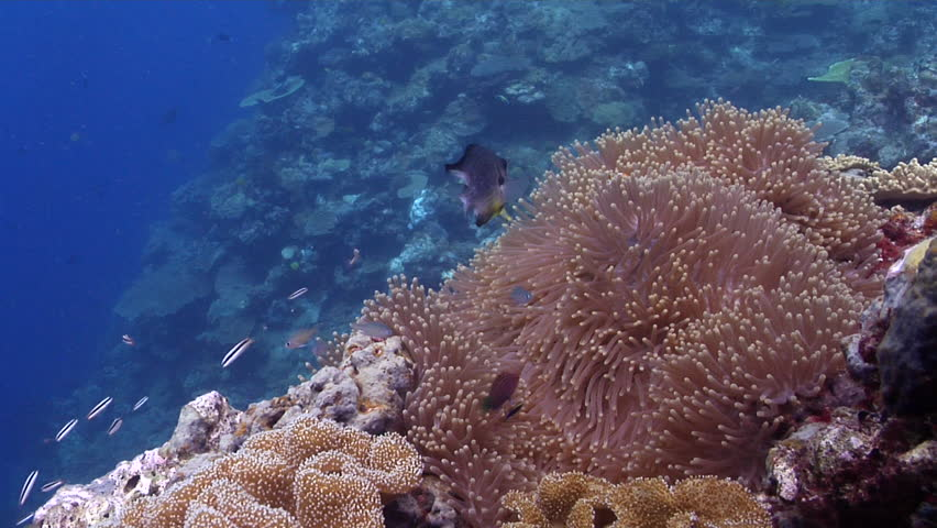 Clownfish swimming on shallow coral reef, Amphiprion percula HD, UP29148