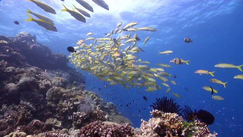 Yellowfin goatfish swimming and schooling on shallow coral reef, Mulloidichthys vanicolensis HD, UP28968