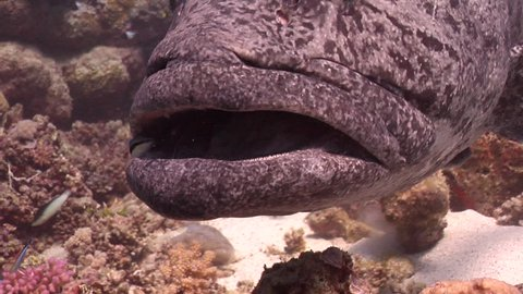 Potato cod cleaning and being cleaned on shallow coral reef, Epinephelus tukula HD, UP28725