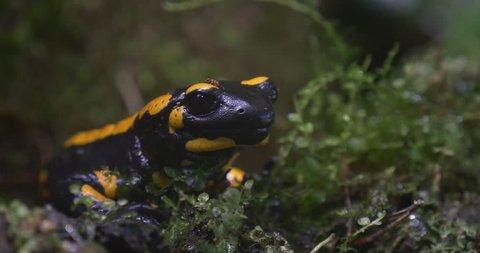 Yellow-Black Salamandra Sits Motionless. Slightly Trembling Lower Part of the Salamander's Head. Around Salamander Green Plants.