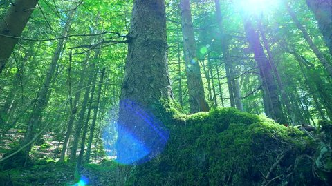 Green forest moss trees sunbeams dolly deep woods sun rays shimmer