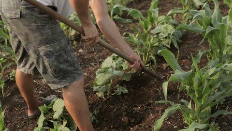 Weed control on organic farm. Farmer weeding, man works, farming, close-up