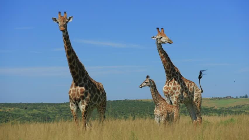 giraffes graze on the Savannah of South Africa