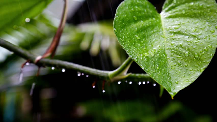 After a heavy rain spring rain drops on the leaves are beautiful, clear as a whistle.  On it you can see the drops of rain