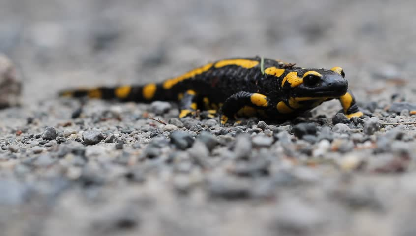 Fire Salamander (Salamandra salamandra ssp. terrestris ) on a sandbar in the Ilse mountain stream, in the Harz, in Saxony-Anhalt / Germany