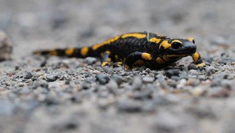 Fire Salamander (Salamandra salamandra ssp. terrestris ) on a sandbar in the Ilse mountain stream, in the Harz, in Saxony-Anhalt / Germany