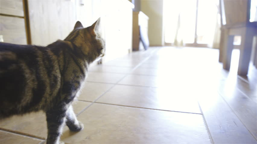 Steadicam following cat around house 4K. Cute British breed cat observing surrounding inside the house and walk away from strong exterior light. Camera follows cat around.