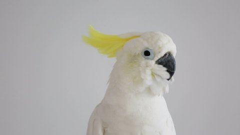 Sulphur-crested Cockatoo, Cacatua galerita,with crest up in front of white background