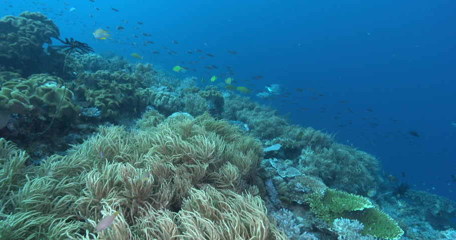 Ocean scenery lots of yellow phase trevally hunting, focus crap for first half, on deep coral reef, 4K UltraHD, UP39153