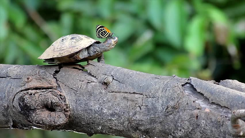 A Butterfly collects salt from a Yellow-spotted Amazon River Turtle (Podocnemis unifilis) basking on a log in the Peruvian Amazon