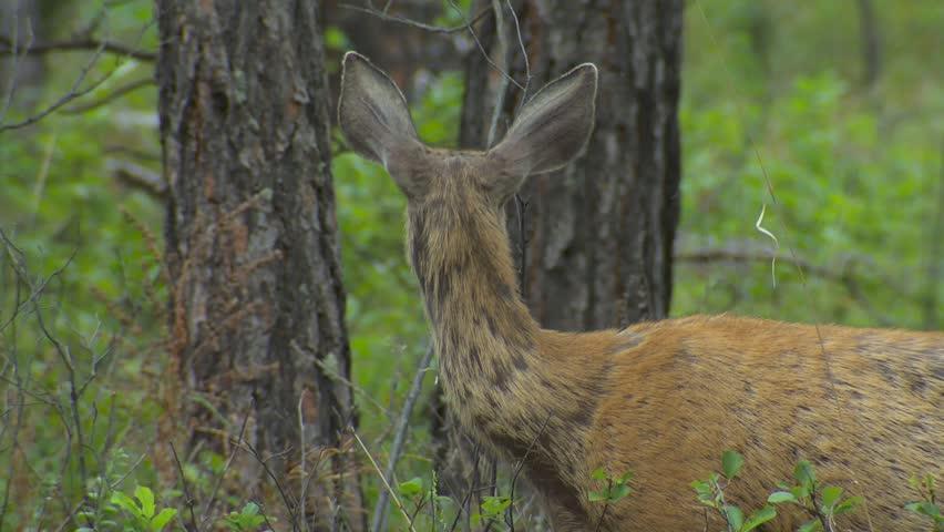 Mule Deer Female Doe Adult Lone Eating Feeding Browsing Summer Hair Loss Skin Shedding. Black Hills, South Dakota, USA - 2015   Shutterstock HD Video #19415659