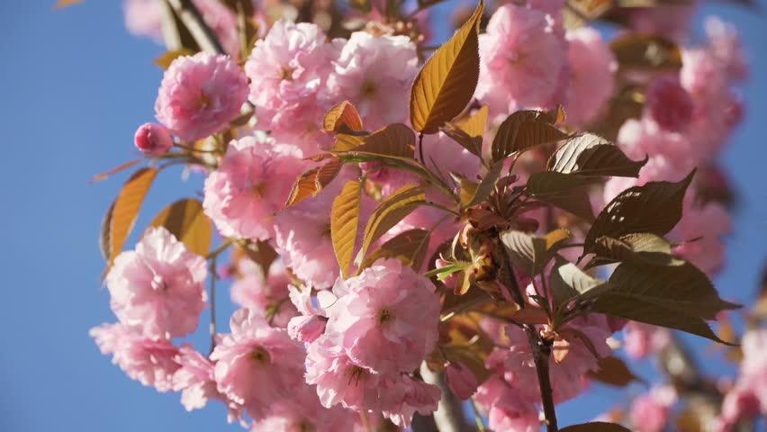 Spring flower cherry sakura tree branch blossom background. Japan pink white cherry tree branch sakura flower blossom blue sky background. Cherry sakura tree flower blossom spring. Cherry tree blossom