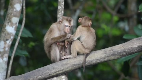 A big family of Southern pig-tailed macaque (Macaca nemestrina), medium-sized Old World monkey, in natural habitat of Khao Yai national park, Thailand. Time to be together, happy time of the family.