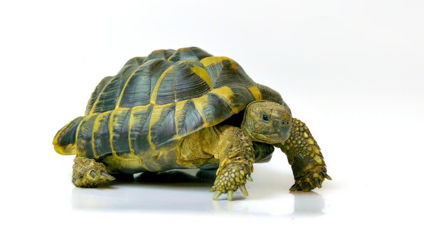 Russian tortoise. Studio shot on white background. (av17483c)