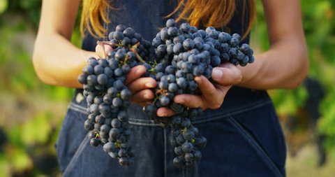girl in September to harvest vineyards , macro collects the selected grape bunches in Italy for the great harvest. biological concept id , organic food and fine wine handmade