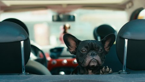 CU Funny dog french bulldog traveling on the back seat of a small car. 2K