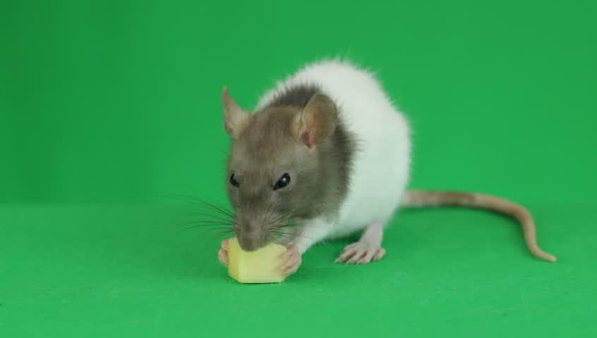 rat eating cheese	on a green screen #19597939
