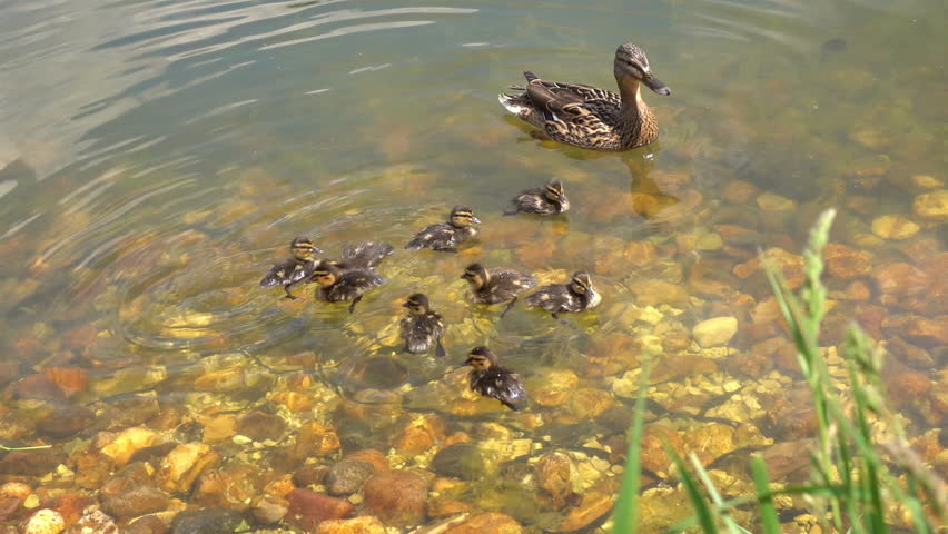 Stock video of mallard duck female and her little | 19480006 ...
