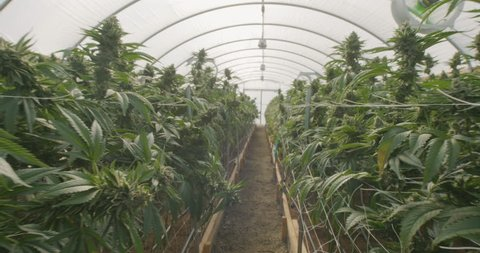Walking Through Professional Cannabis Commercial Growing Indoor Greenhouse Farms