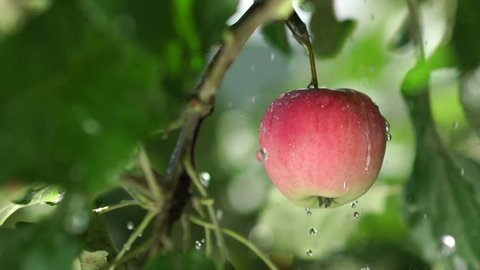 Red apple with rain drops on the tree. Slowmotion. Apple tree wet from the rain. Rain in the apple orchard. Red apple, juicy greens. Fruit tree. Juicy red apple on the tree branch.