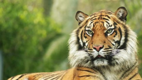 The Bengal tiger, also called the royal Bengal tiger (Panthera tigris), is the most numerous tiger subspecies. It is the national animal of both India and Bangladesh.