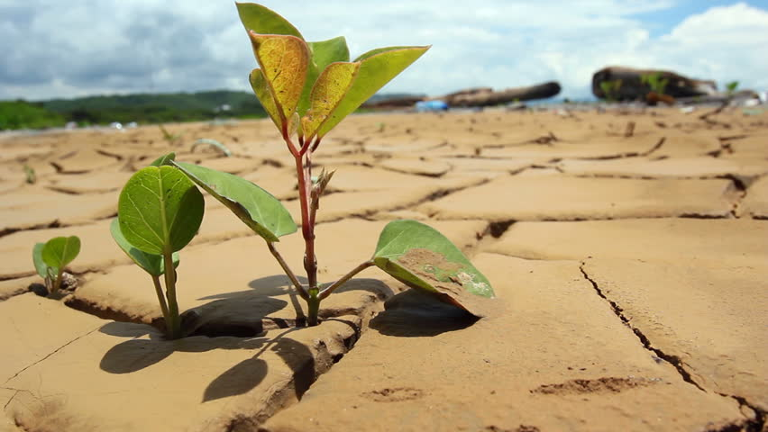 Tree seedling growing in the bottom of a dried up pond on the Pacific coast of Ecuador