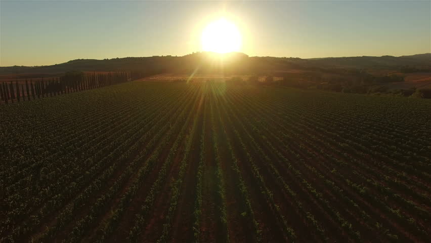 Aerial: forward flight low over vineyard rows directly towards sunset. Tuscany, Italy.