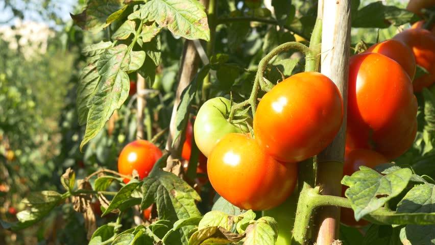 Mature cherry tomato