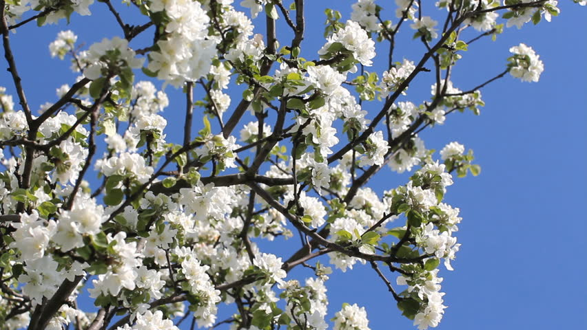 Flowering tree in a sunny stock footage video 100 royalty free flowering tree in a sunny garden spring garden blooming apple tree large white flowers on an apple tree against the bright blue sky mightylinksfo