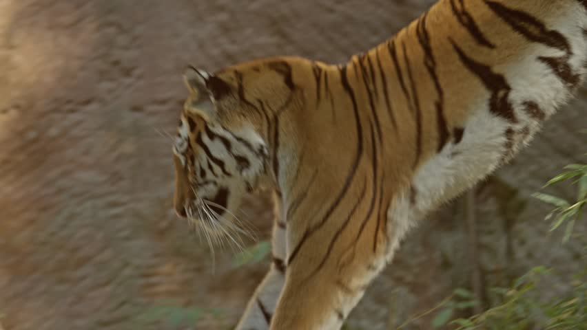 Siberian Tiger Slow Motion Jump
