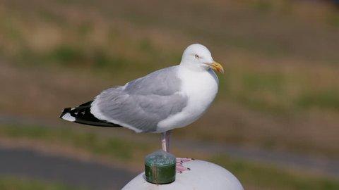 European Herring Gull; North Bay Beach Scarborough