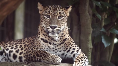 Solitary jaguar lies on a rock. resting in the shade in its habitat enclosure at a popuar. public zoo.