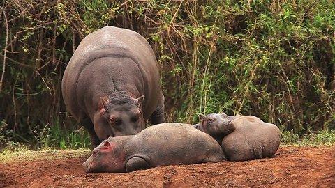 Hippopotamus, hippopotamus amphibius, Adult Licking Young, Masai Mara Park in Kenya, Real Time