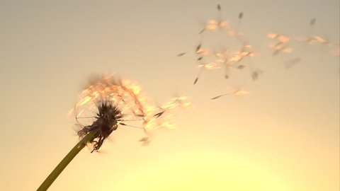 Dandelion seeds. The wind blows away dandelion seeds. Slow motion 240 fps. High speed camera shot. Full HD 1080p. Slowmo