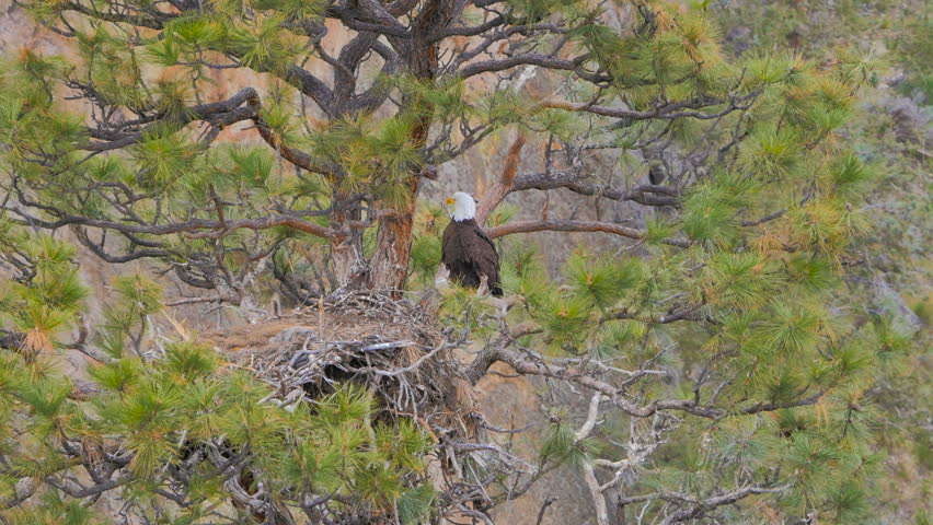Big Bald Eagle Leaving Nest Stock Footage Video 100 Royalty Free 20239099 Shutterstock