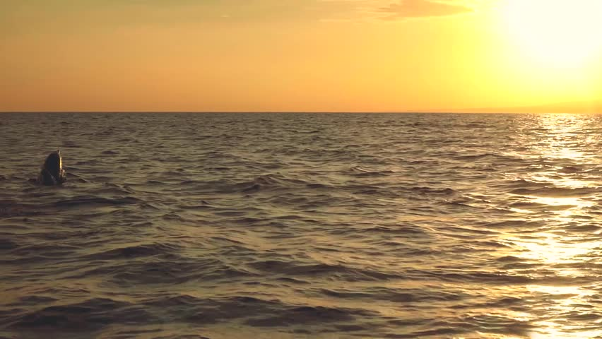 Dolphins Jumping In Ocean On Sunrise Lovina Bali