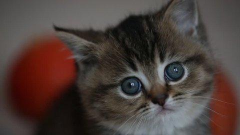 British chinchillas kitten and pumpkin