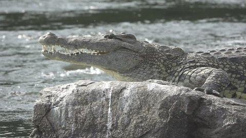 Nile river, rock and crocodile abandoning position in super slow motion, 240fps flat profile