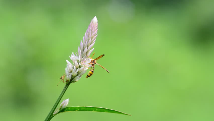 Wasp flying to pink cockscomb flower