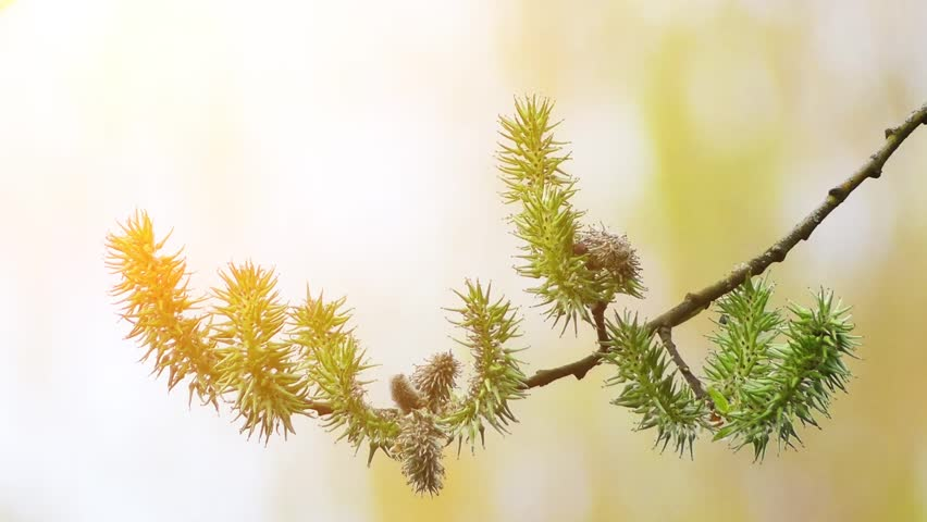 Header of almond willow