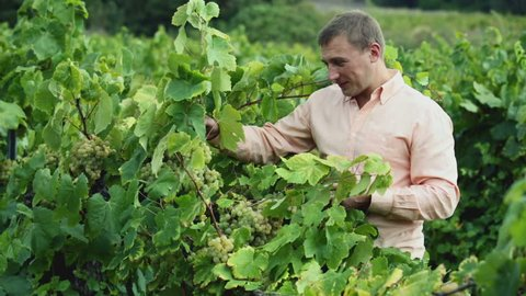 vintner checking wine grape and leaves in summer day